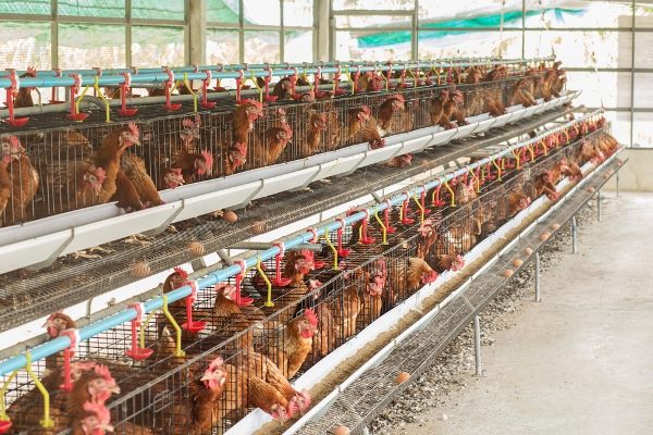 allevamenti pollame