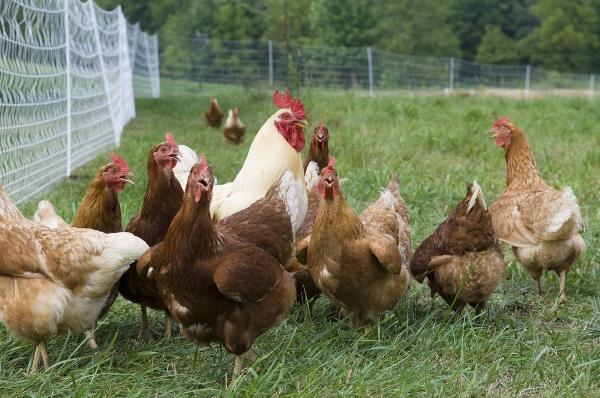 allevamento polli