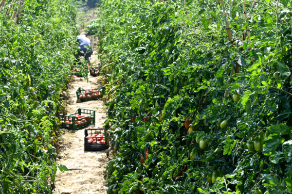 coltivazioni pomodoro