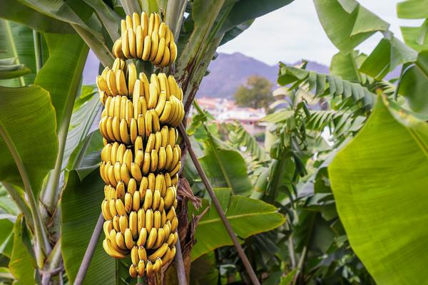 banane origini