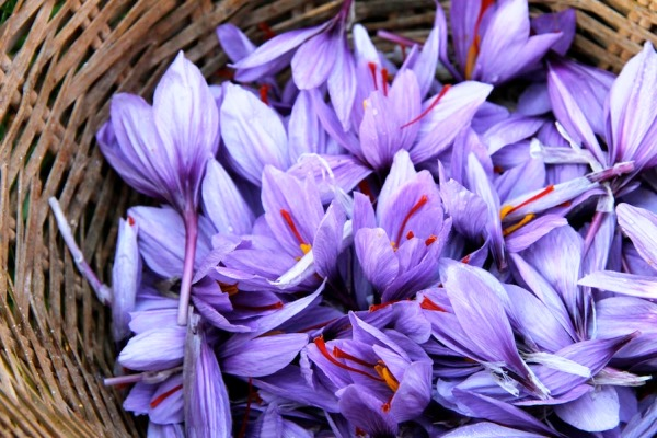 zafferano-fiori