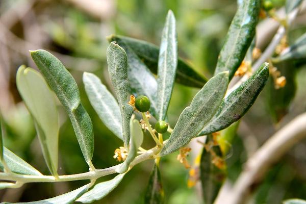oliva del piceno