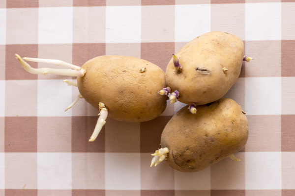 patate germogli