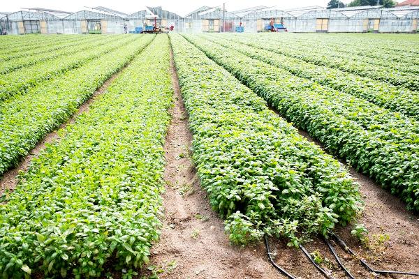 coltivazione basilico