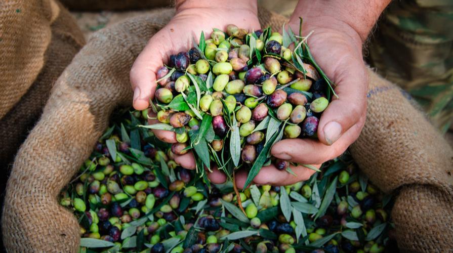 produzione olio di oliva