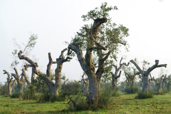 xylella olivo