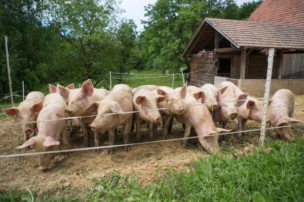 allevamento maiali