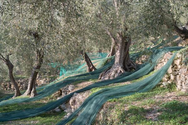 olive liguria