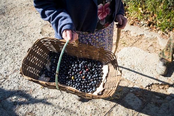 olive taggiasche cultival liguria