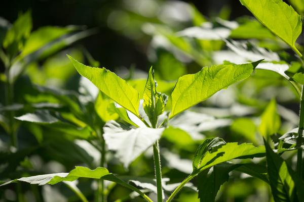pianta topinambur