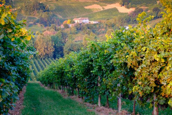 prosecco vigne