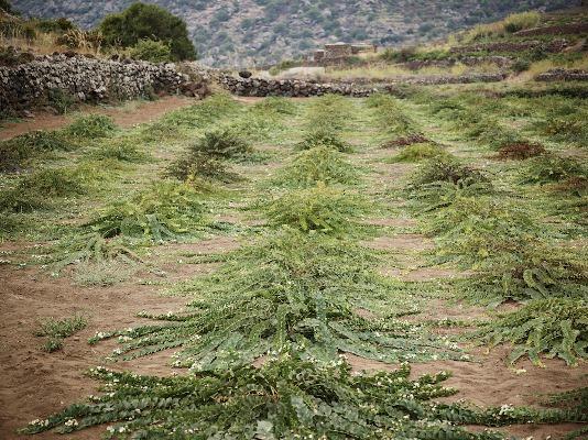 pantelleria coltivazione capperi