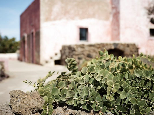 pianta capperi pantelleria