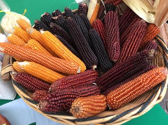rostrato rosso rovetta mais