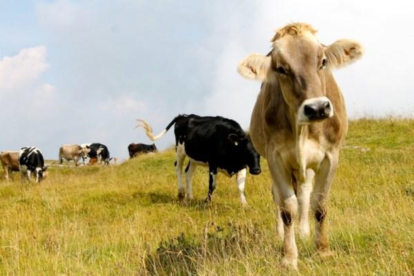mucche bergamo