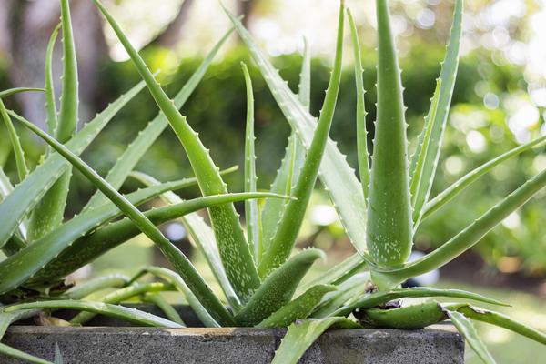 pianta aloe