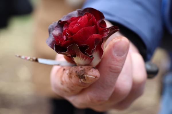 rosa di gorizia mano