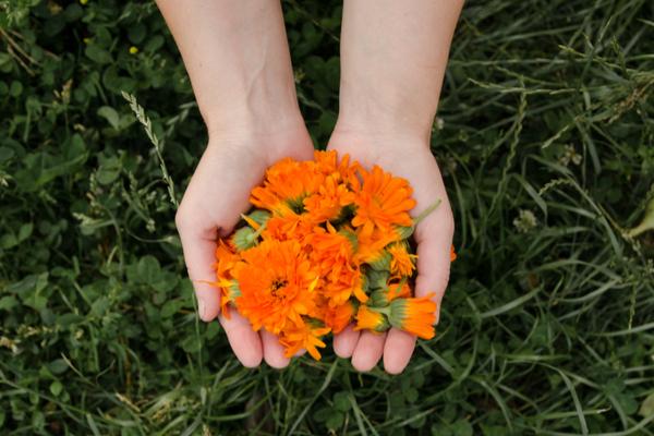 fiori calendula