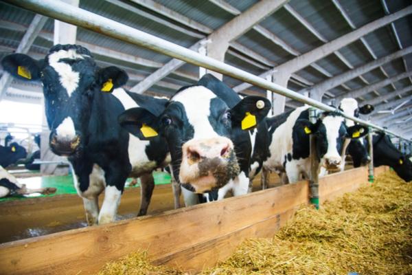 mucche allevamento