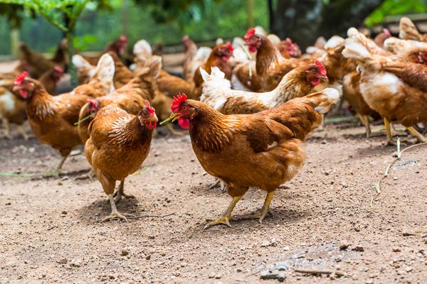 galline ovaiole allevamento