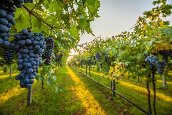 produzione uva da vino