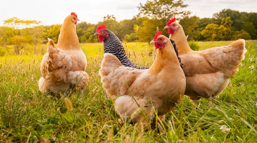 allevamento galline ovaiole all'aperto