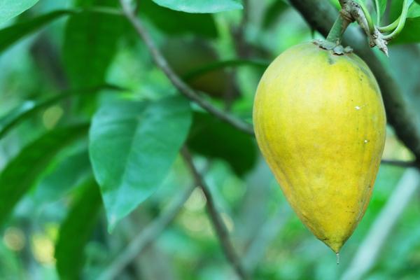 lucuma frutto