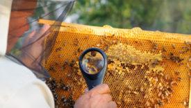 crisi del miele