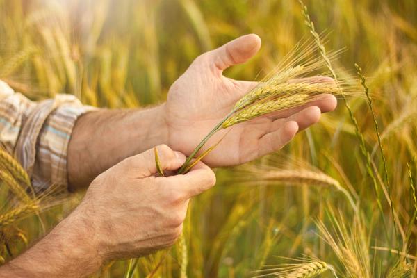 grano biologico