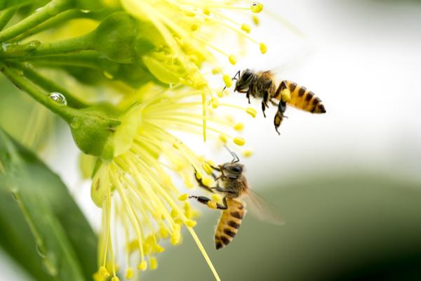 impollinazione api