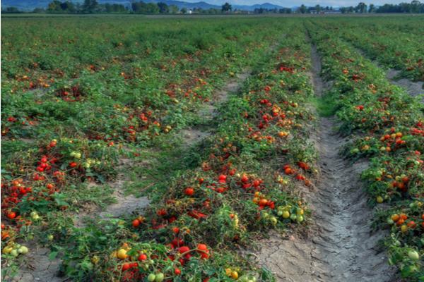 campi di pomodori