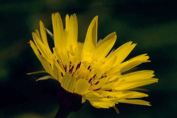 fiore pilosella