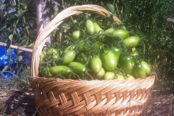pomodorino di rofrano acerbo