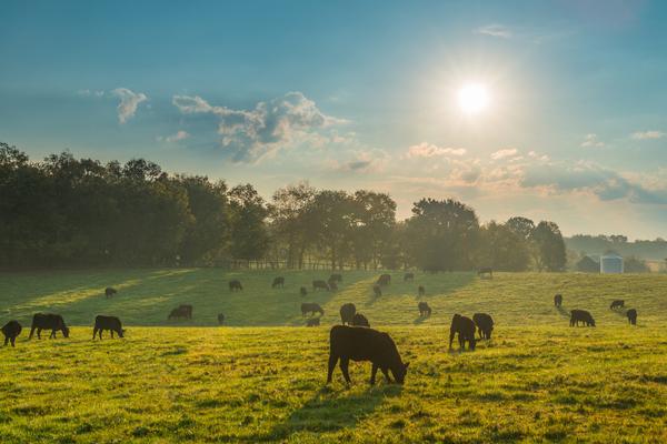 allevamento estensivo bovini