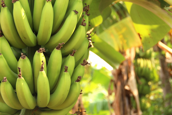 banane cavendish pesticidi
