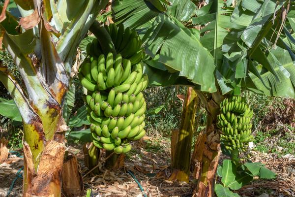 pesticidi coltivazioni banane