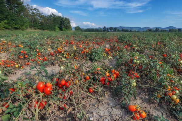 filiera pomodoro agromafie