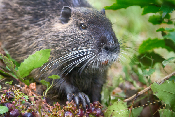 nutria animale