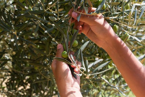 annata 2018 olio d oliva