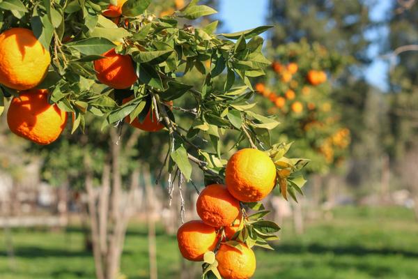 arance frigie