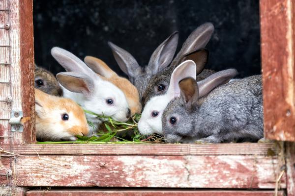 conigli da allevamento