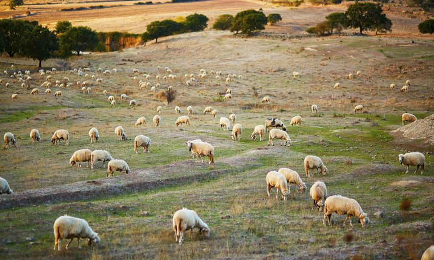 alimentazione pecore pecorino sardo