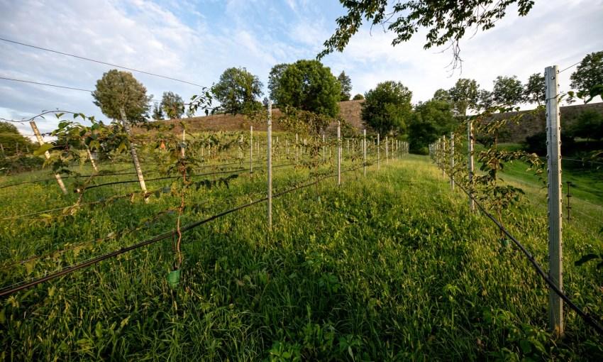 asimina coltivazione italia