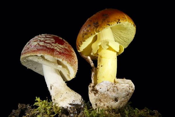 funghi ovuli amanita muscaria