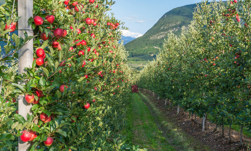 coltivazione mele italia