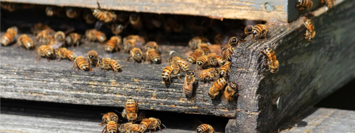 apicoltura urbana intervista