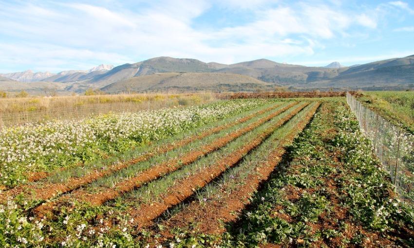 coltivazione zafferano abruzzo