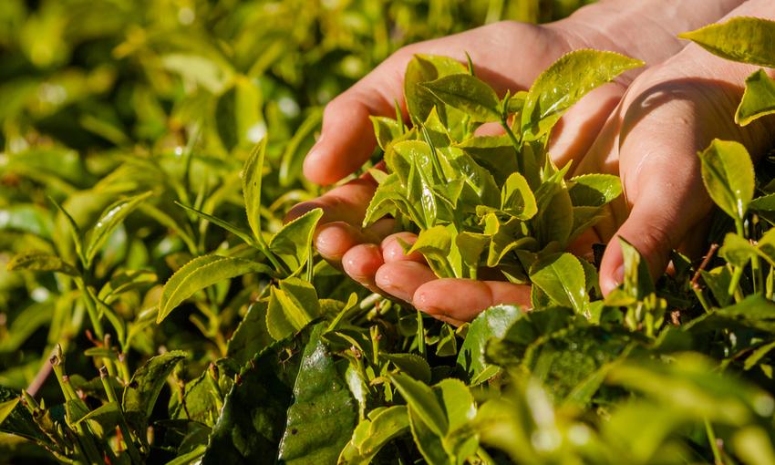 fasi coltivazione tè
