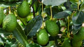 impatto ambientale avocado