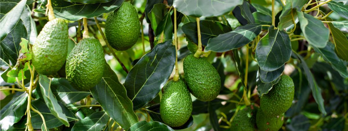 Quali sono le conseguenze ambientali della coltivazione dell'avocado?